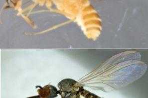 معرفی 34 گونه مگس گرده افشان برای دنیای علم