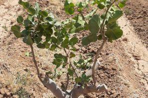 ارائه دانش سرشاخه کاری درختان پسته