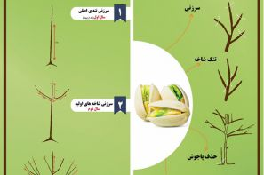 پوستر ترویجی : تربیت و هرس درخت پسته