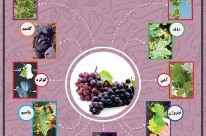 پوستر ترویجی : علائم کمبود عناصر غذایی در انگور