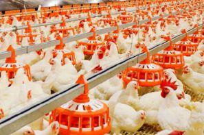 دان دهی به مرغ
