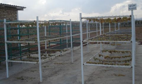 بارگاه کشمش مرکز تحقیقات و آموزش کشاورزی و منابع طبیعی استان قزوین