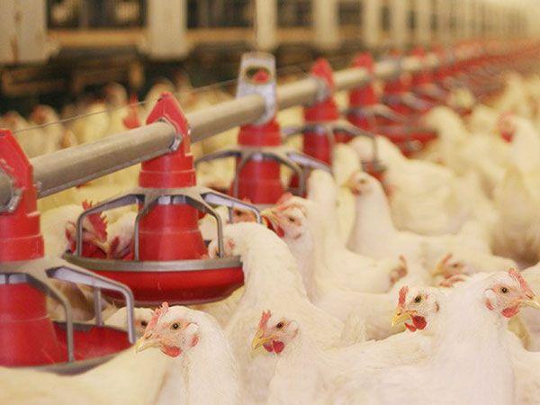مرغ و ظرف دان دایه سازان صنعتی طیور